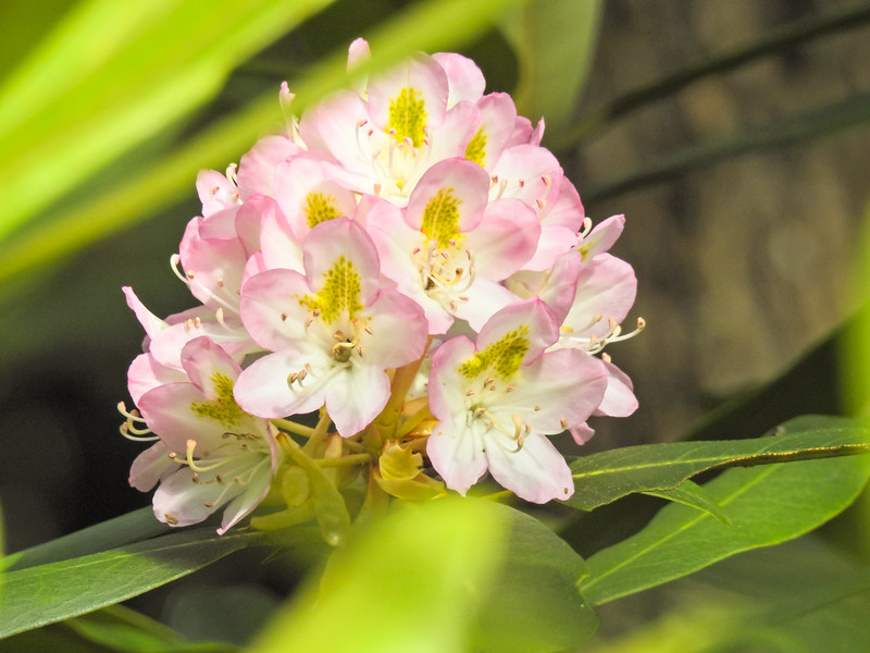 A closeup view oa rhododendron flower.