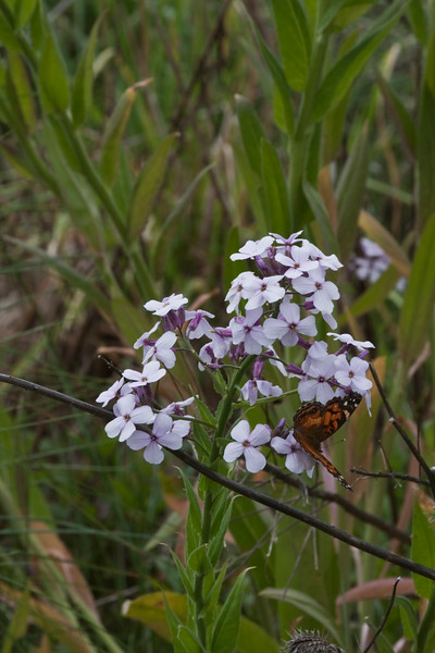 A vertical stock photo of an orange butterfly on a group of purple Dames Rocket wildflower.