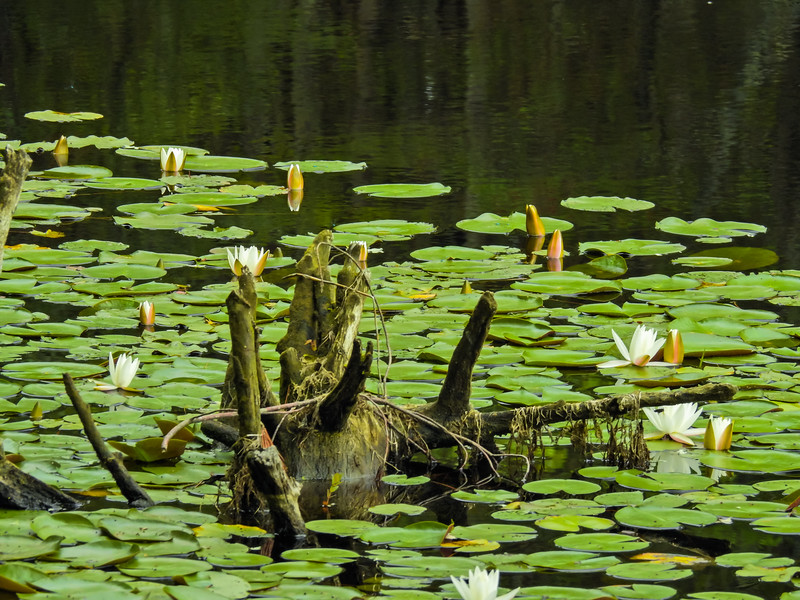 An old stump surrounded by water lillies,vines hanging on the stump
