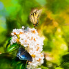 Butterflies on Mountain Laurel flowers.