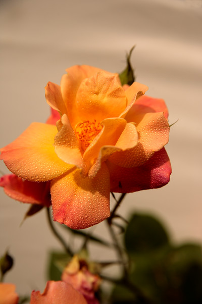A Vertical Stock Photograph of a single yellow rose with plain background,covered with dewdrops.