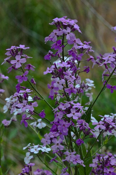 A vertical stock photograph of a group of purple and white dames rocket wild flowers.