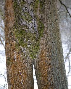 Arboreal inversion in Brown's Folly near Bathford