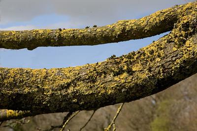 Tree pincers, Upper Westwood