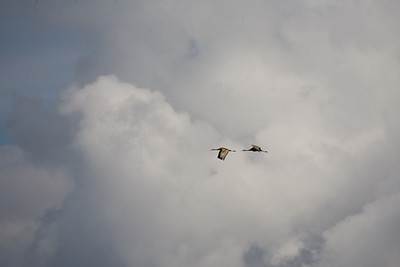 Sandhill cranes over Yellowstone