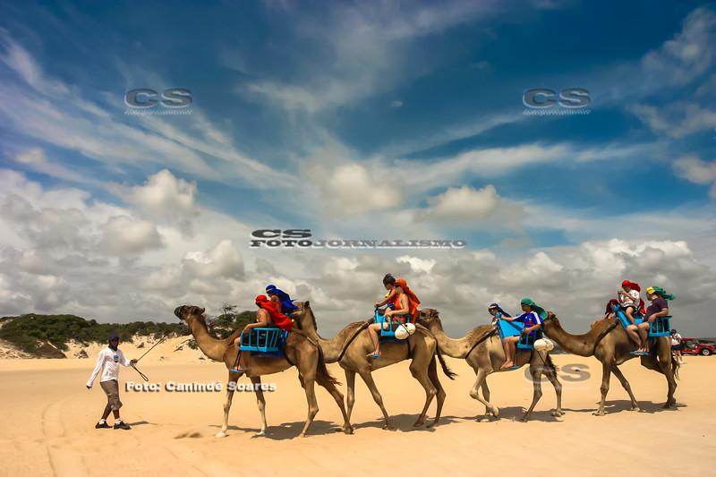Dromedários nas dunas de Jenipabu