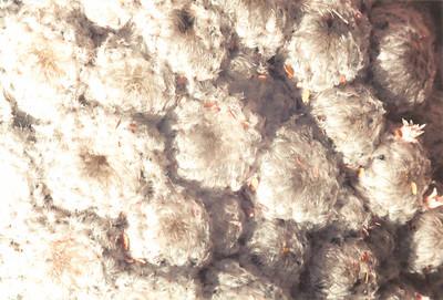 Cotton Cactus