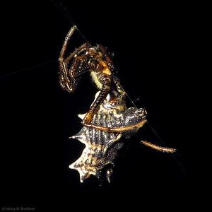 Micrathena gracilis