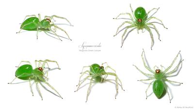 Lissomanes viridis