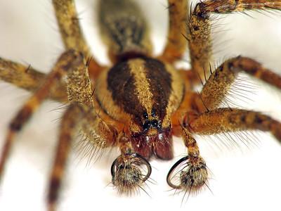 Agelenopsis sp.