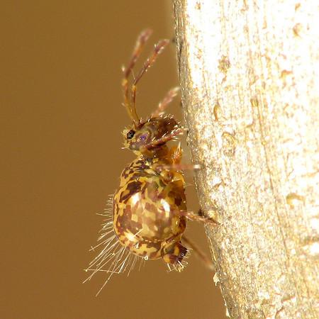 Ptenothrix renateae