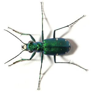 Cicindela sexguttata