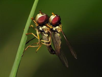 Toxomerus politus