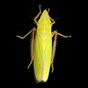 Draeculacephala producta