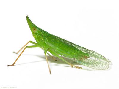 Rhynchomitra microrhina