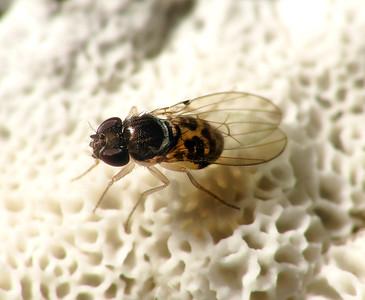 Mycodrosophila sp.
