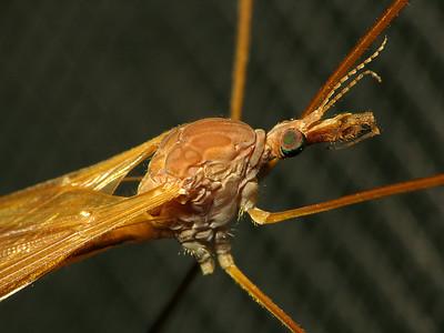 Tipulidae sp.