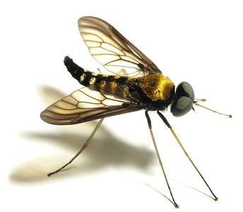 Chrysopilus thoracicus