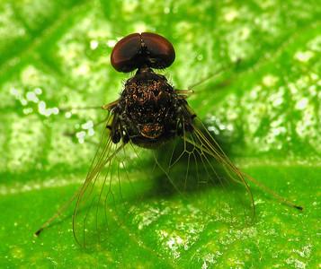 Chrysopilus basilaris