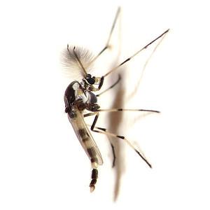 Coelotanypus scapularis