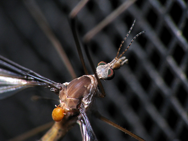 Tipulidae sp. and Calyptostoma sp.