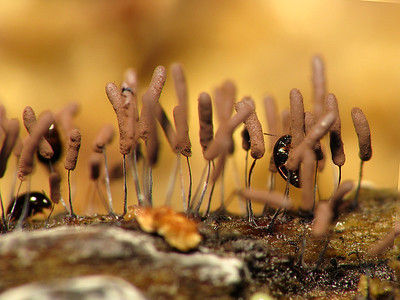 Baeocera Erichson sp.