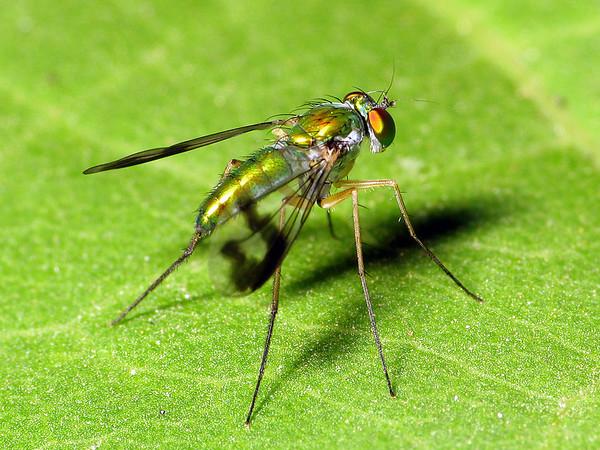 Empidoidea sp