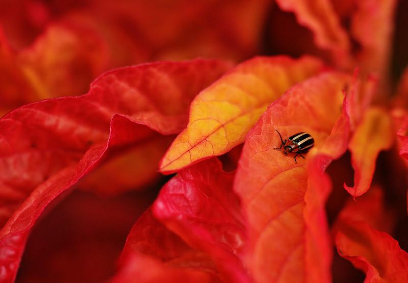 Flea Beetle On Bloodleaf