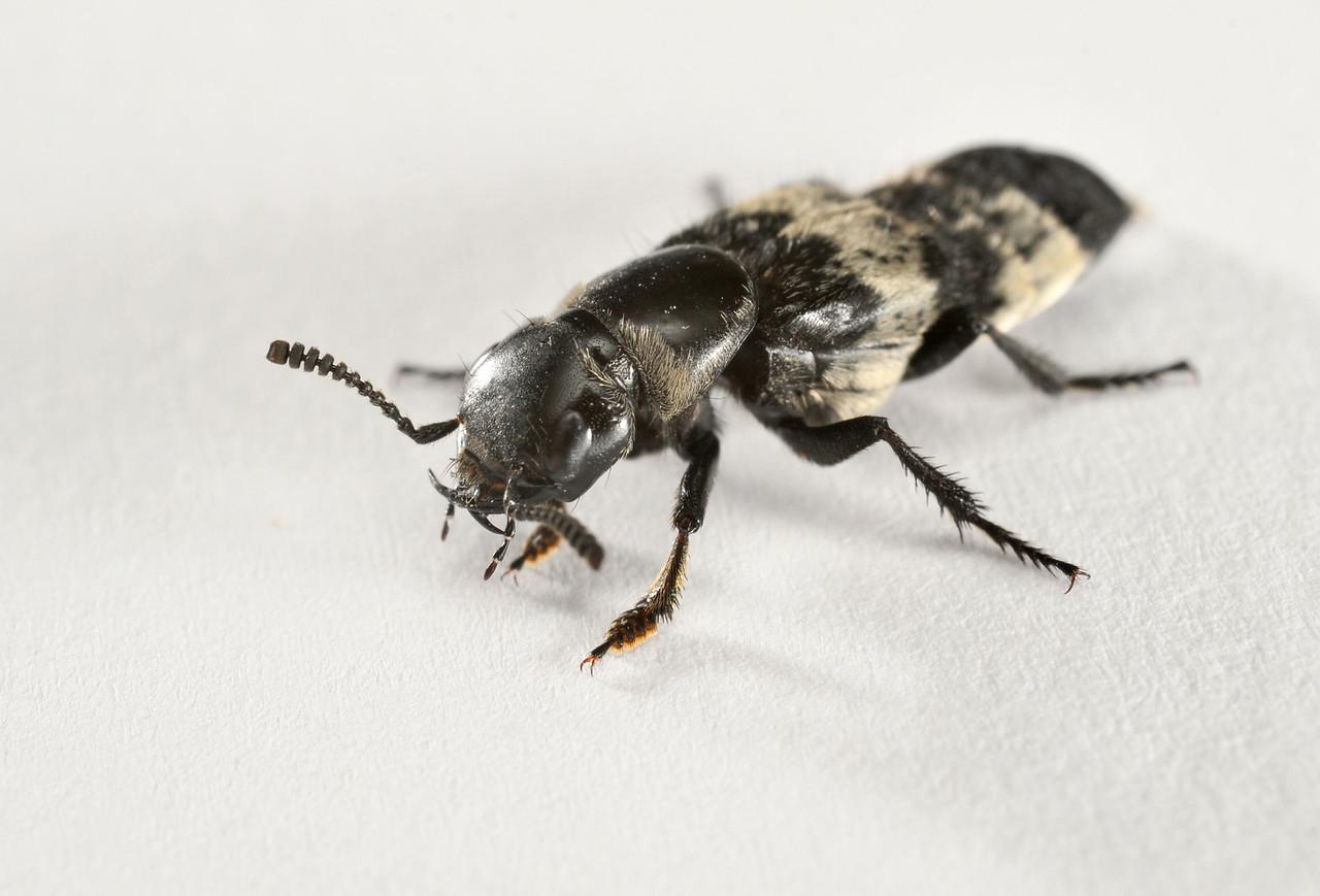 Hairy Rove Beetle