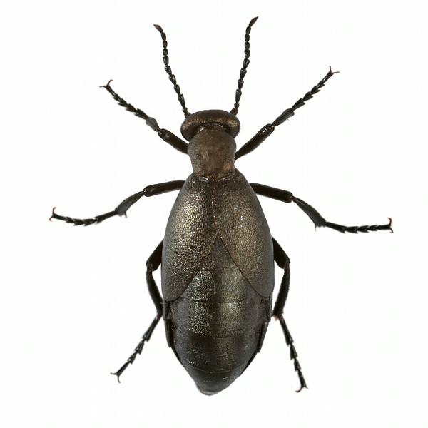 Blister Beetle (dorsal)