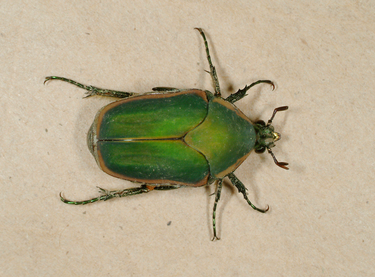 Green June Beetle