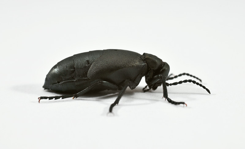 Blister Beetle (lateral)