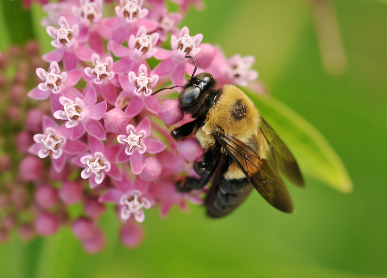 Carpenter Bee On Milkweed