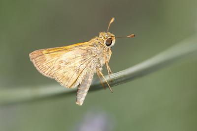 Atalopedis campestris