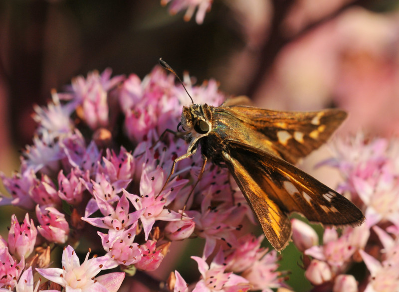 Grass Skipper On Sedum
