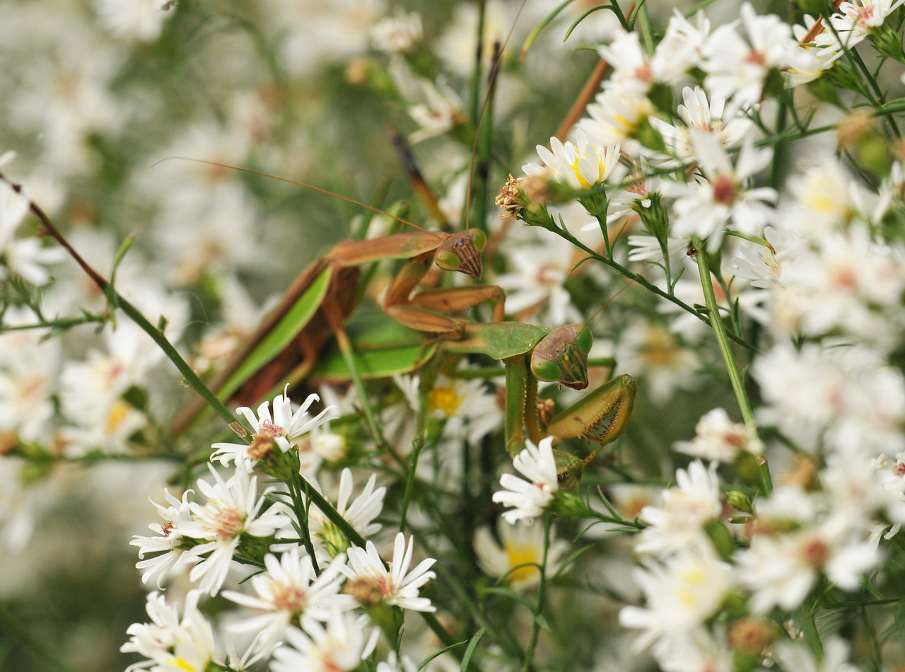 Mantis Couple