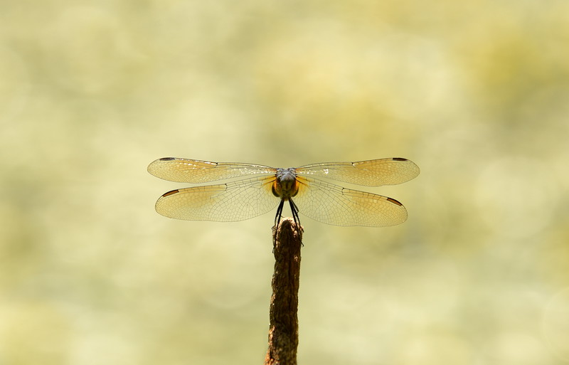 Blue Dasher From Behind