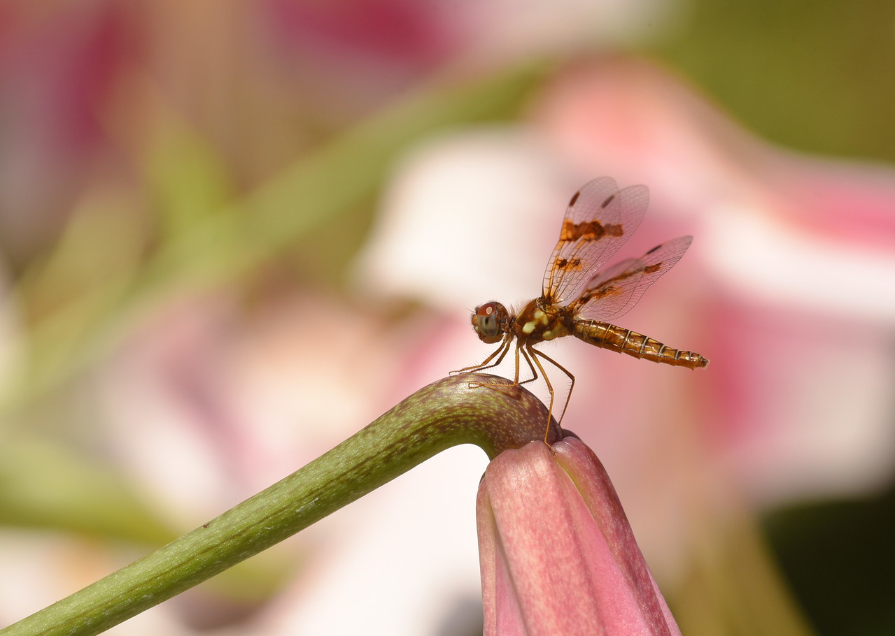 Female Amberwing On Lily