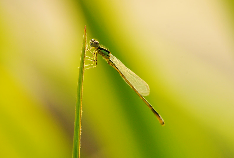 Damselfly Backlit