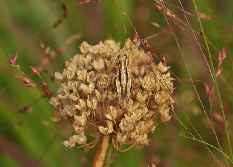 Hidden Grasshopper