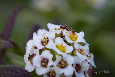 Black Garden Ant, Dorset