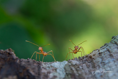 Red Weaver Ants, Hikkaduwa