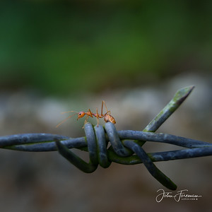 Red Weaver Ant, Hikkaduwa