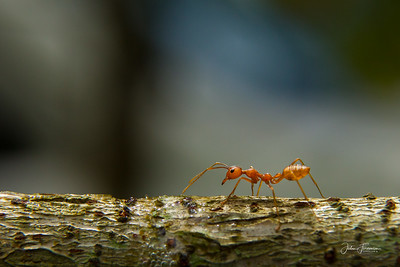 Red Weaver Ant, Thailand