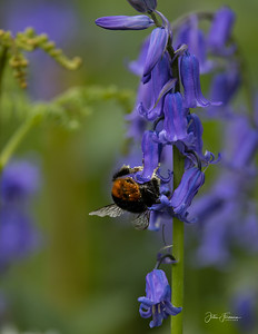 Red-tailed Bumblebee, Wiltshire