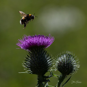 Buff-tailed Bumblebee, Dorset