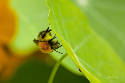Tree Bumblebee, Suffolk