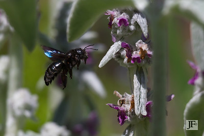 Carpenter Bee, Gers