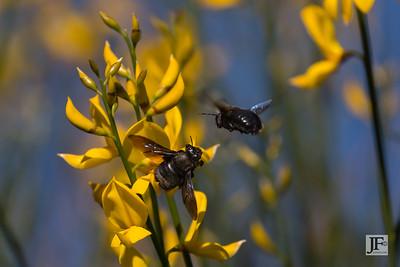 Carpenter Bees, Rio Guadalhorce
