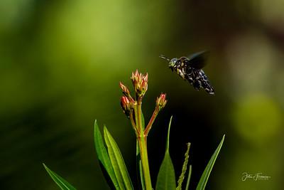 Carpenter Bee, Singapore